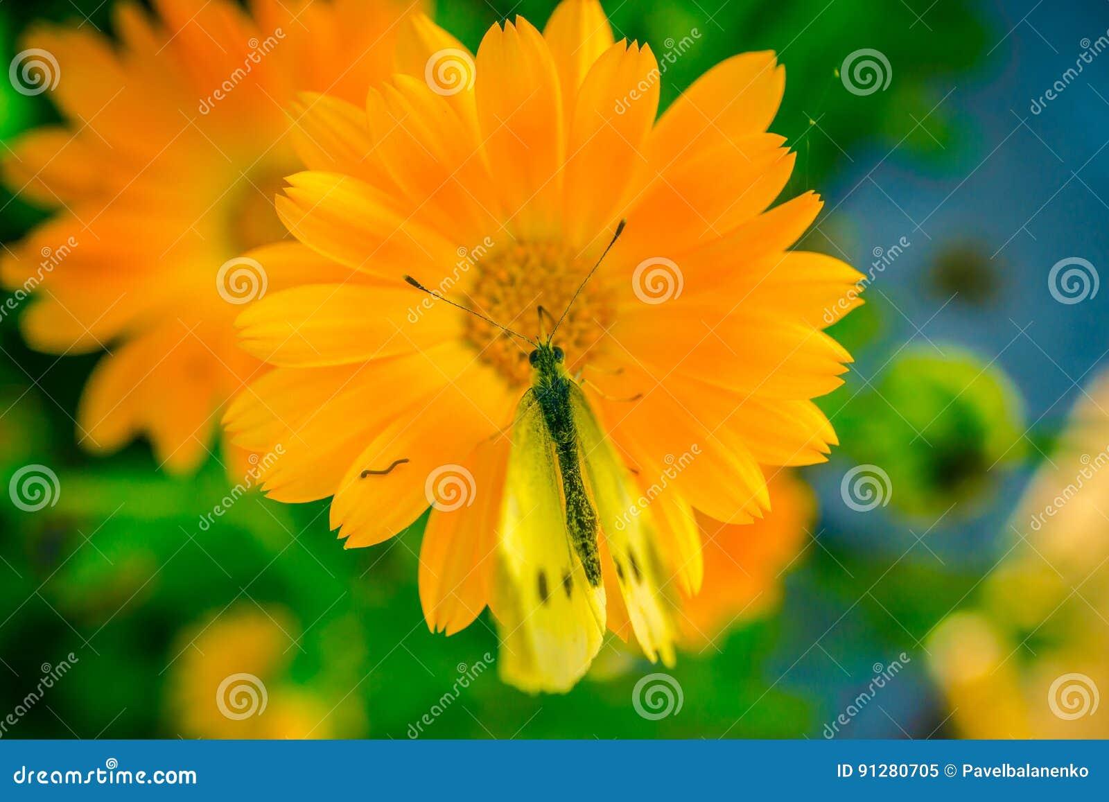 Gul fjäril på den orange blomman