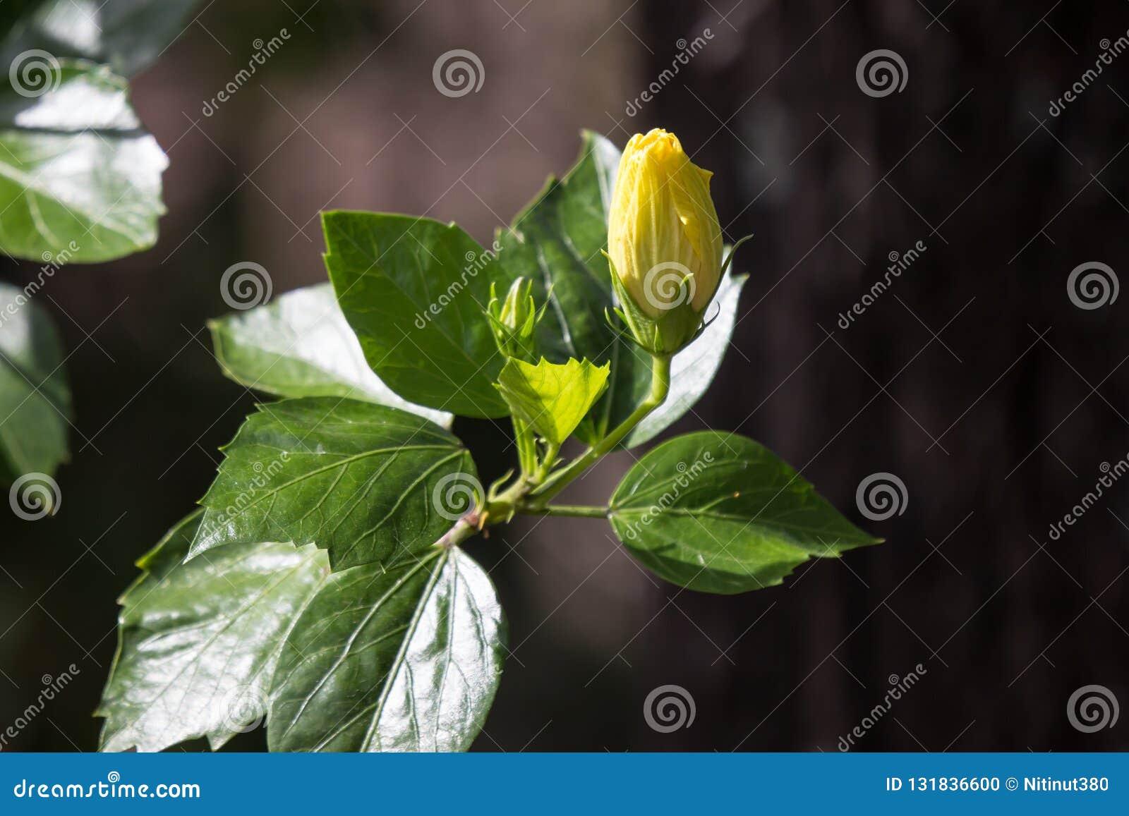 Gul hibiskusblomma i svart dardbakgrund