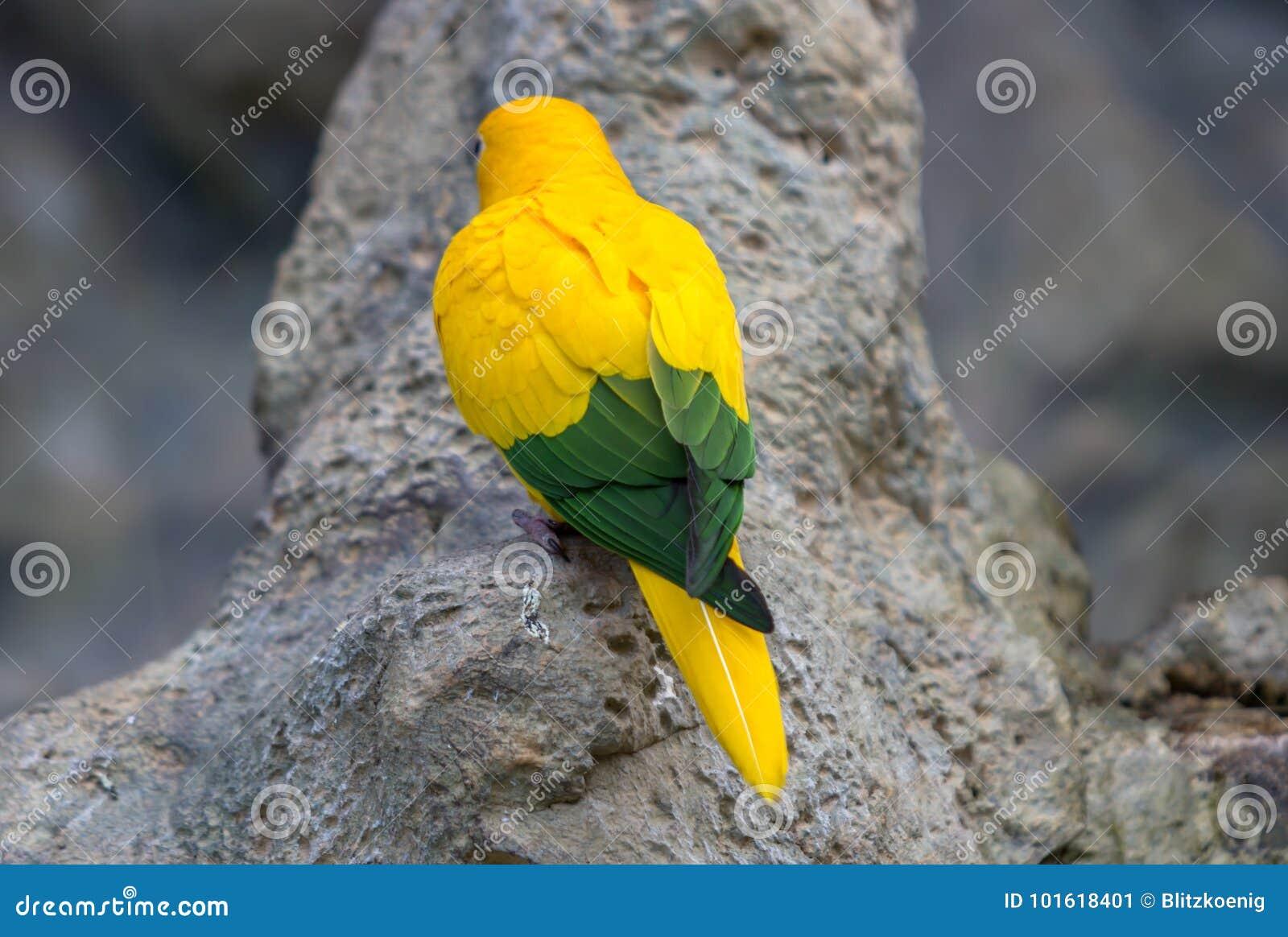 Gul kanariefågel