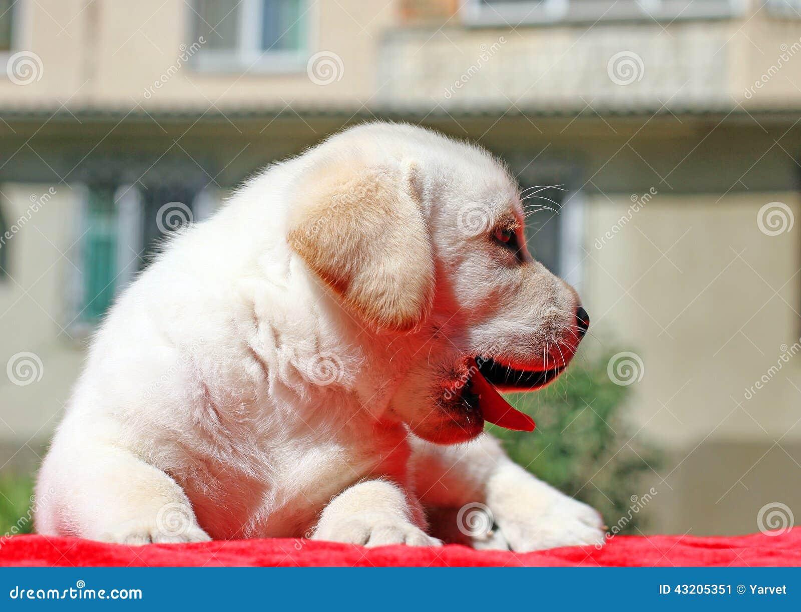 Download Gul Labrador Valpstående På Rött Fotografering för Bildbyråer - Bild av lycka, barn: 43205351