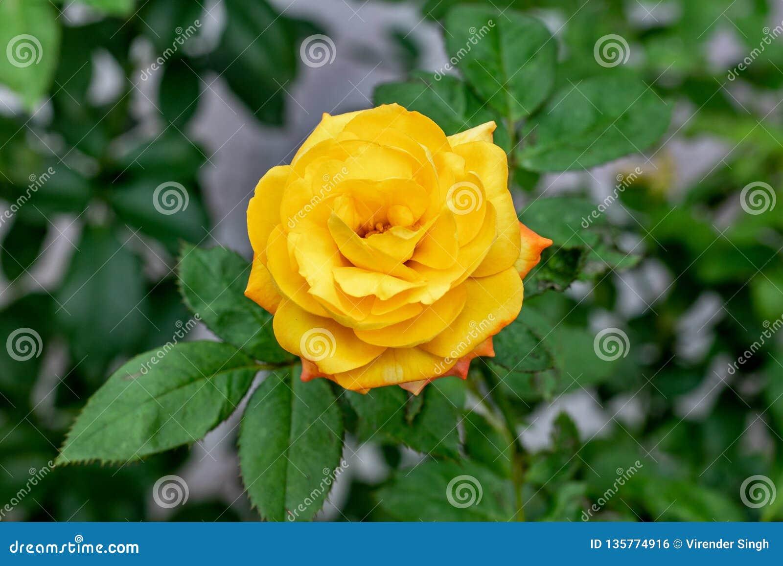 Gul rosa blomstra ros