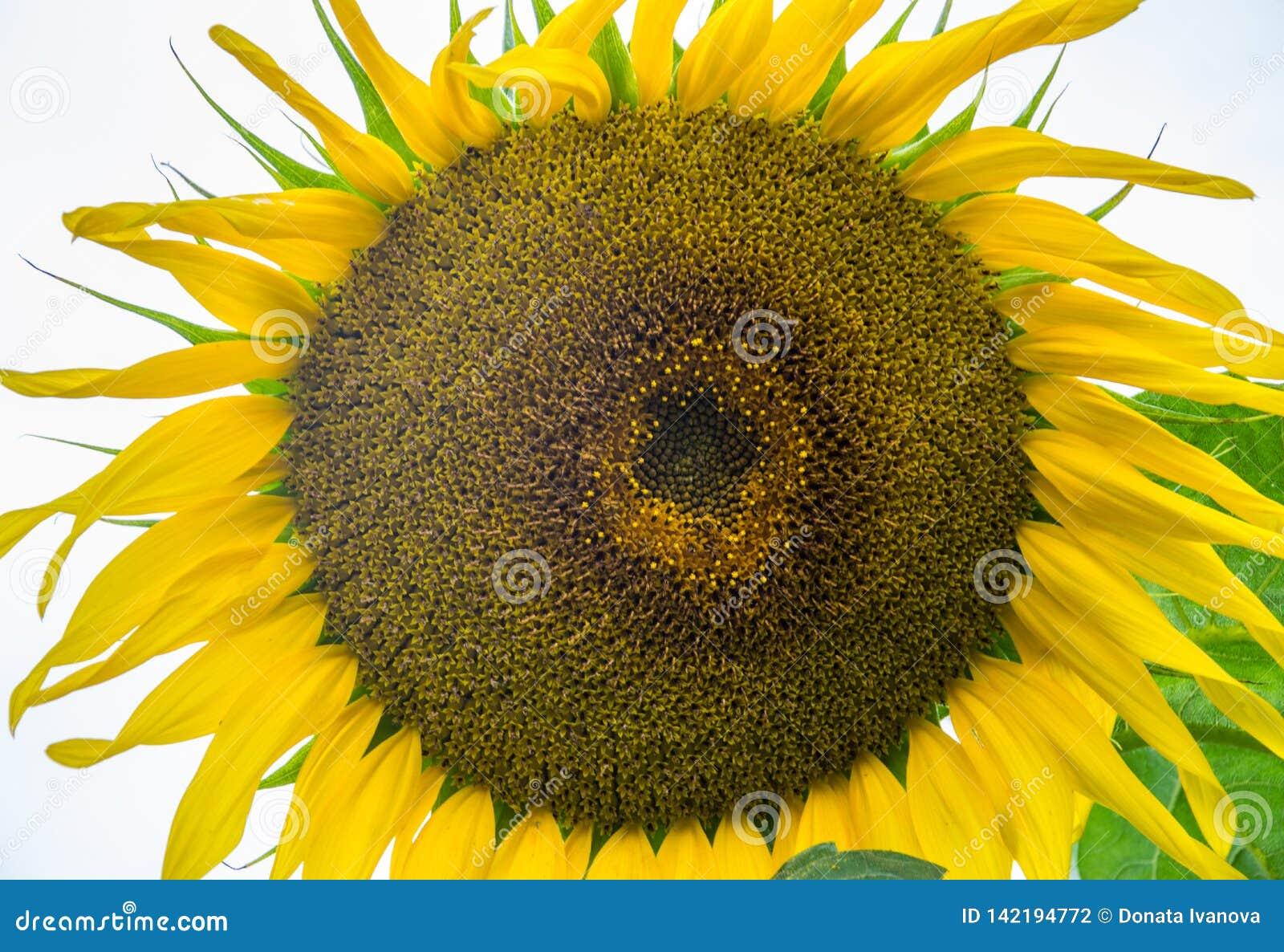 Gul solrosnärbild Suflower blomning