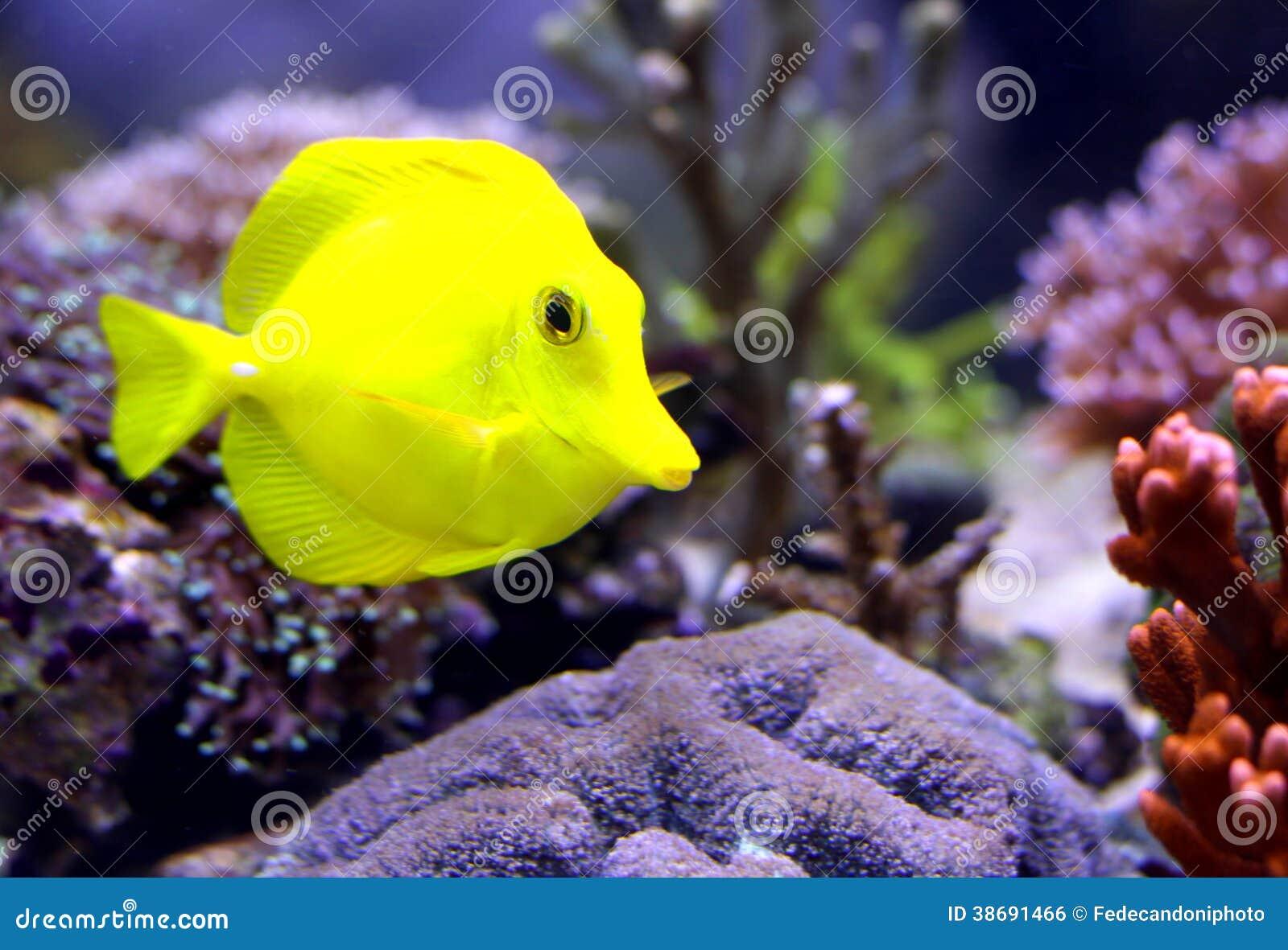Gul tropisk fisk som simmar i akvariet