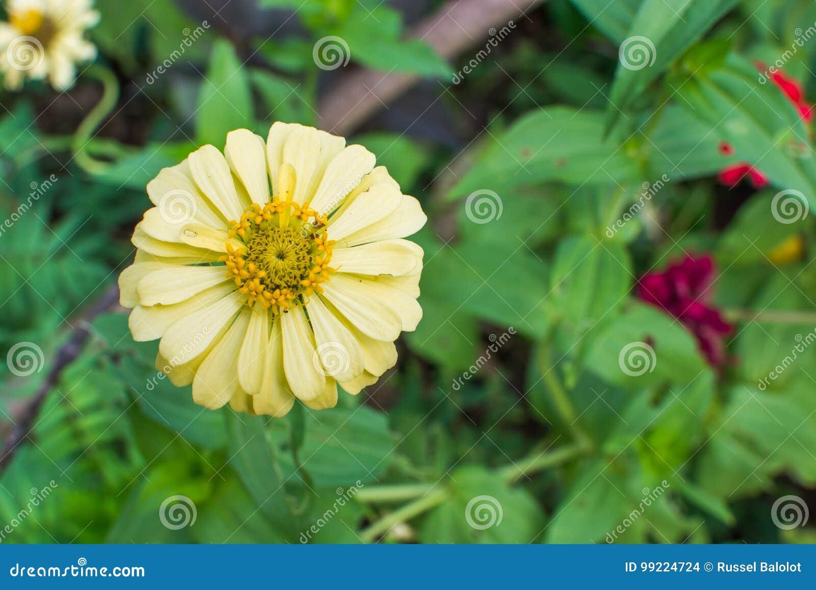 Gul zinnia för blomma