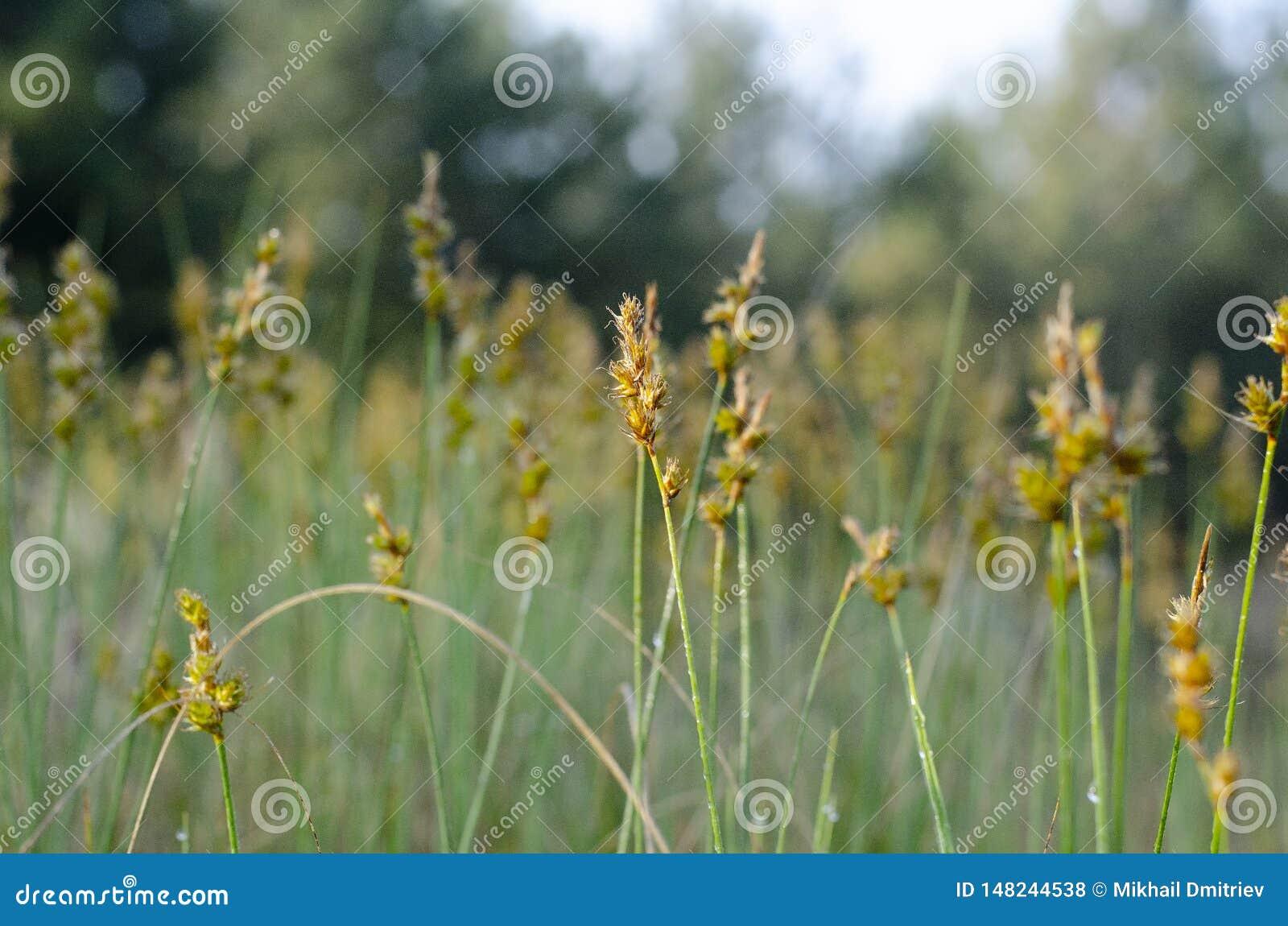 Gul Zubrovka blomma i mitten med suddighet runt om kanterna
