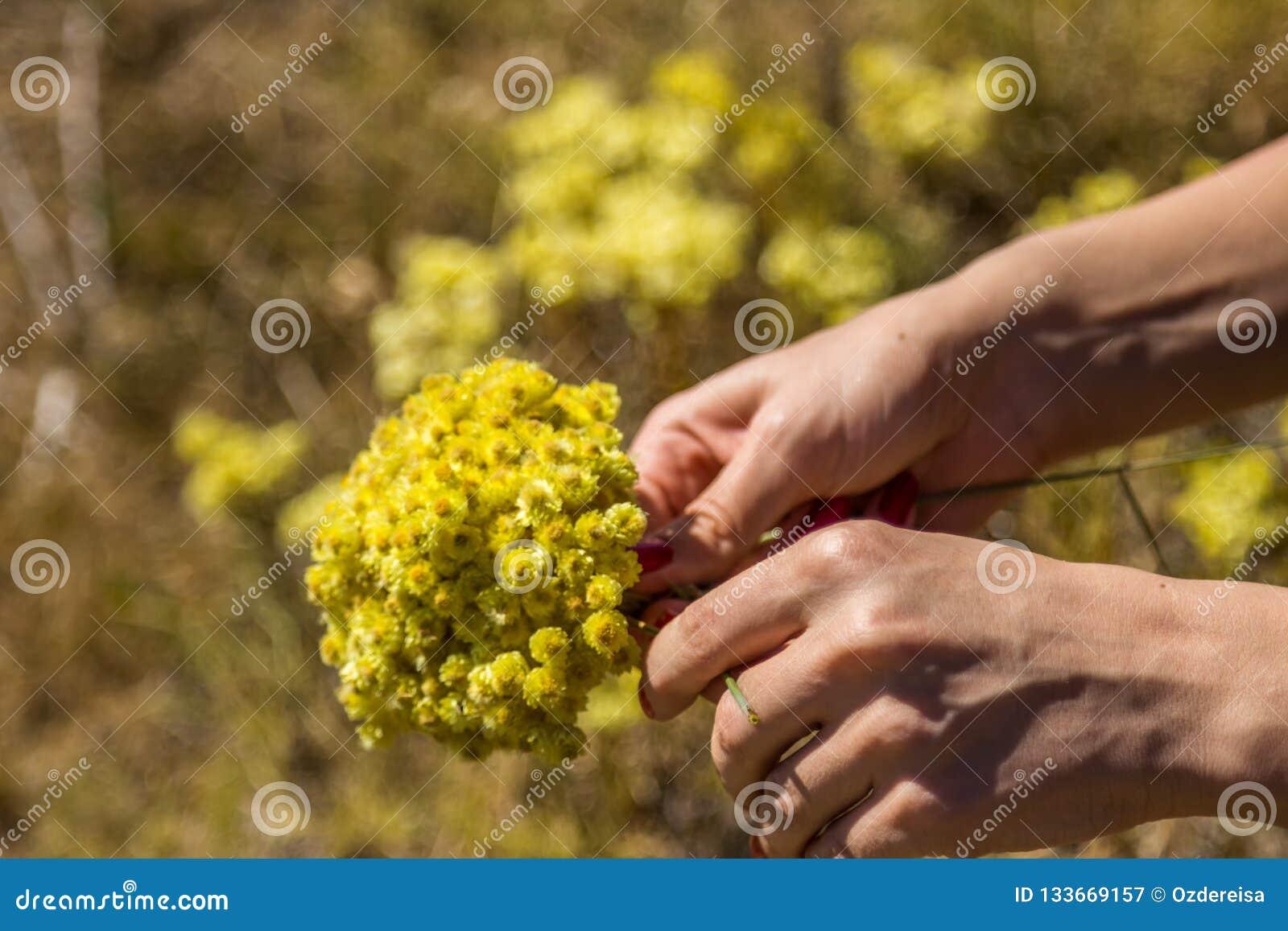 Gula blommor av helichrysumarenariumen eller dvärg- everlast