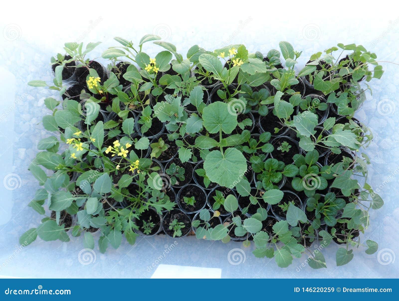 Gula blommor blommar i detta gröna grönsaker som är fullvuxna i en ask