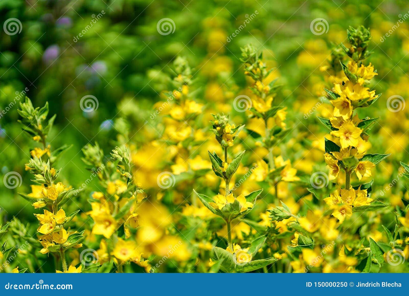 Gula blommor i blomningen, slut upp