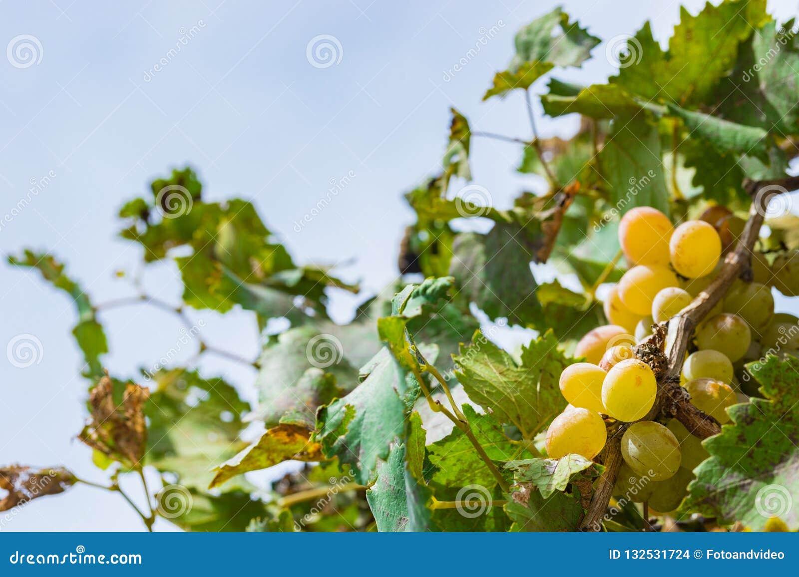 Gula mogna druvabärfrukter som hänger på filial