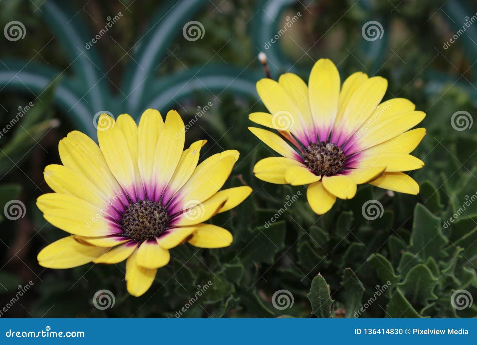 Gula och purpurfärgade tvilling- blommor