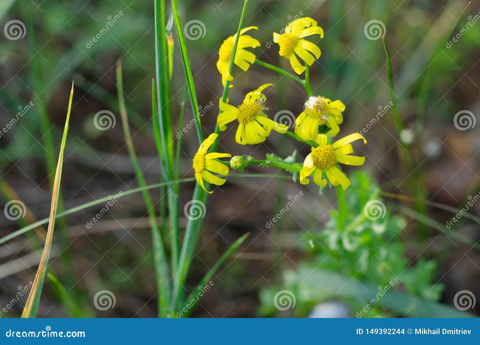Gula vildblommor klamra sig fast intill deras gr?na stammar med deras kronblad