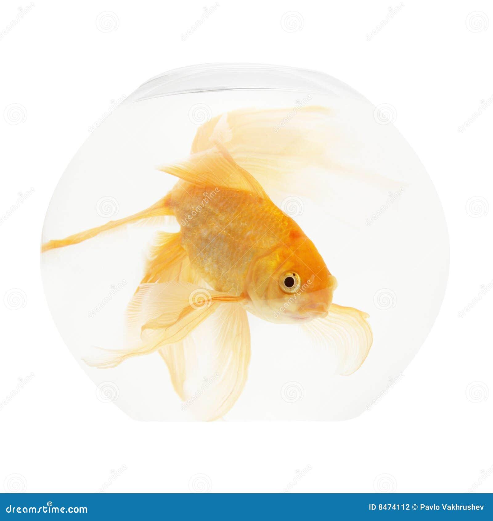 Guld- akvariefisk