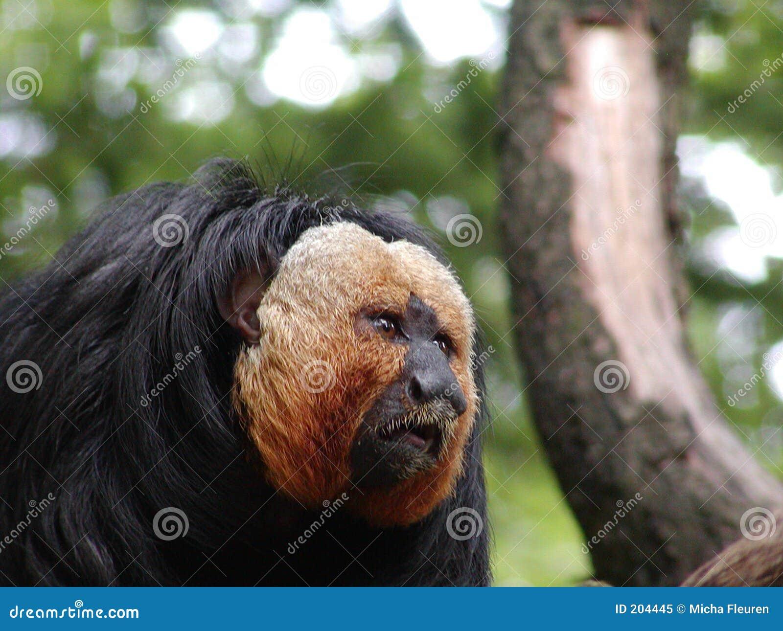Guld- apa för skägg