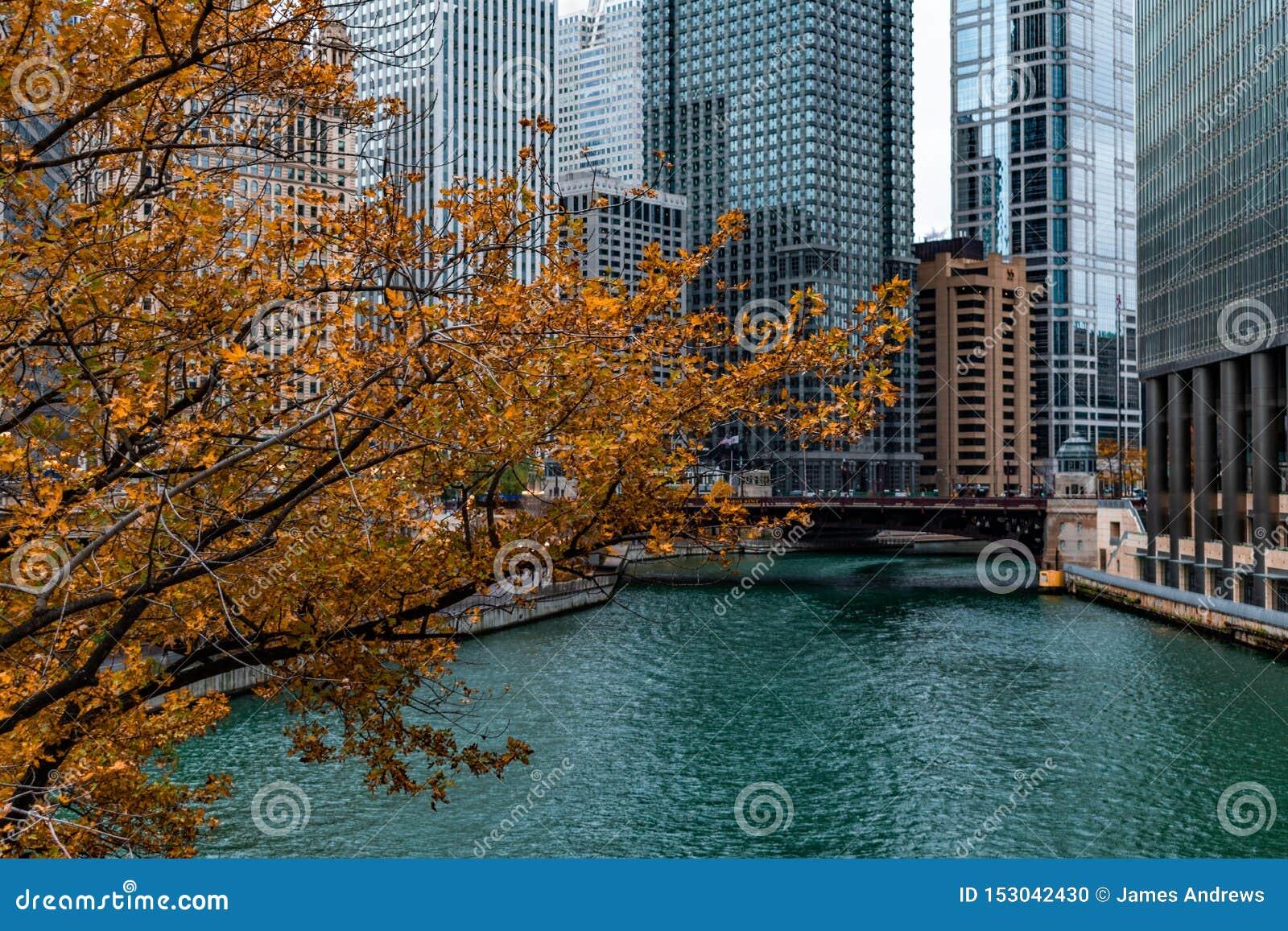 Guld- Autumn Tree vid Chicagoet River och skyskraporna