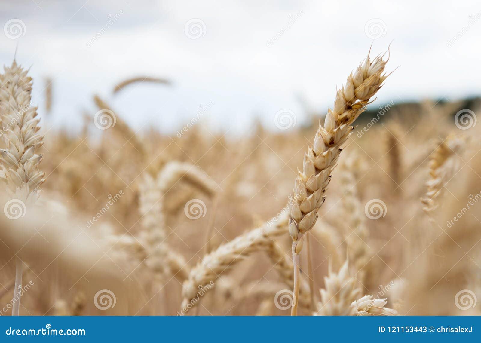Guld- cornfield som är klar för skörd