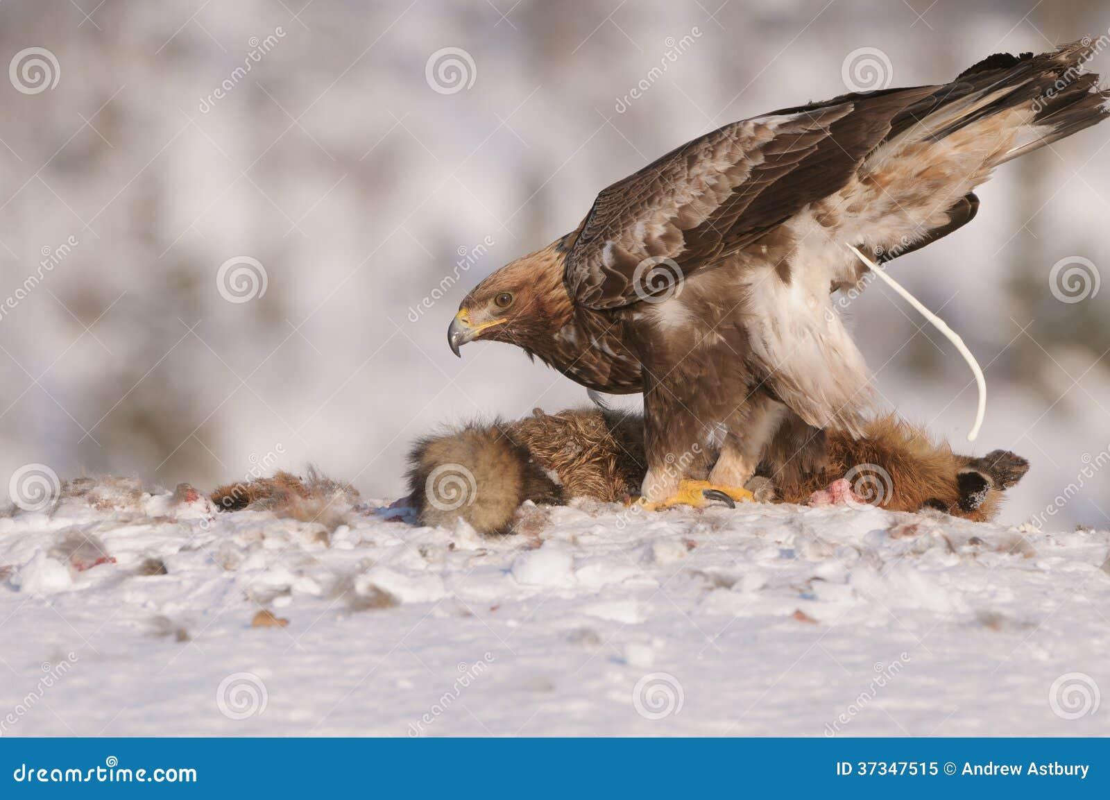 Guld- Eagle Defecation