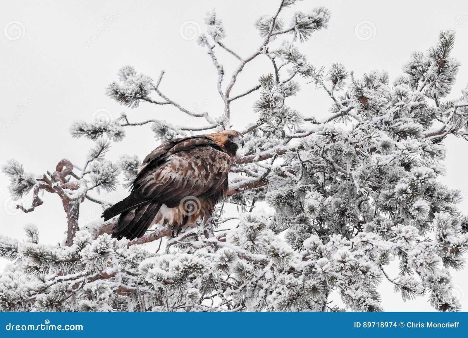 Guld- Eagle i dolt träd för snö