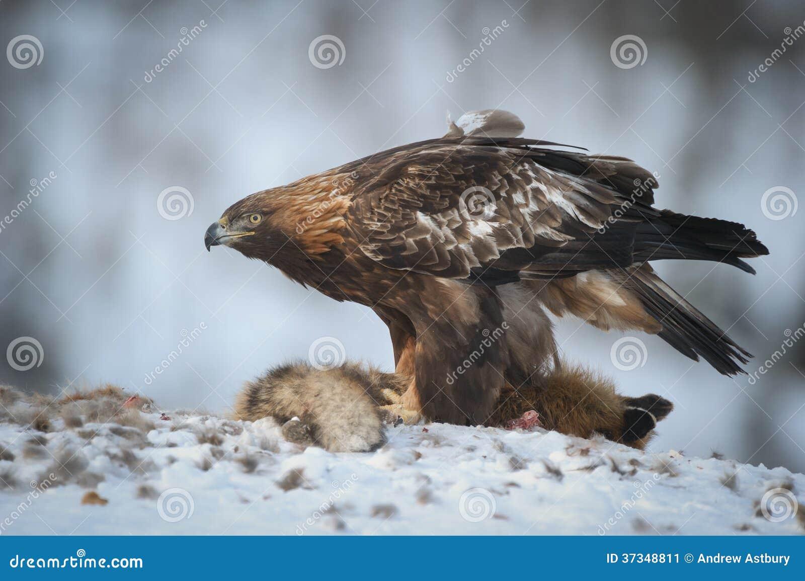 Guld- Eagle Matriarch