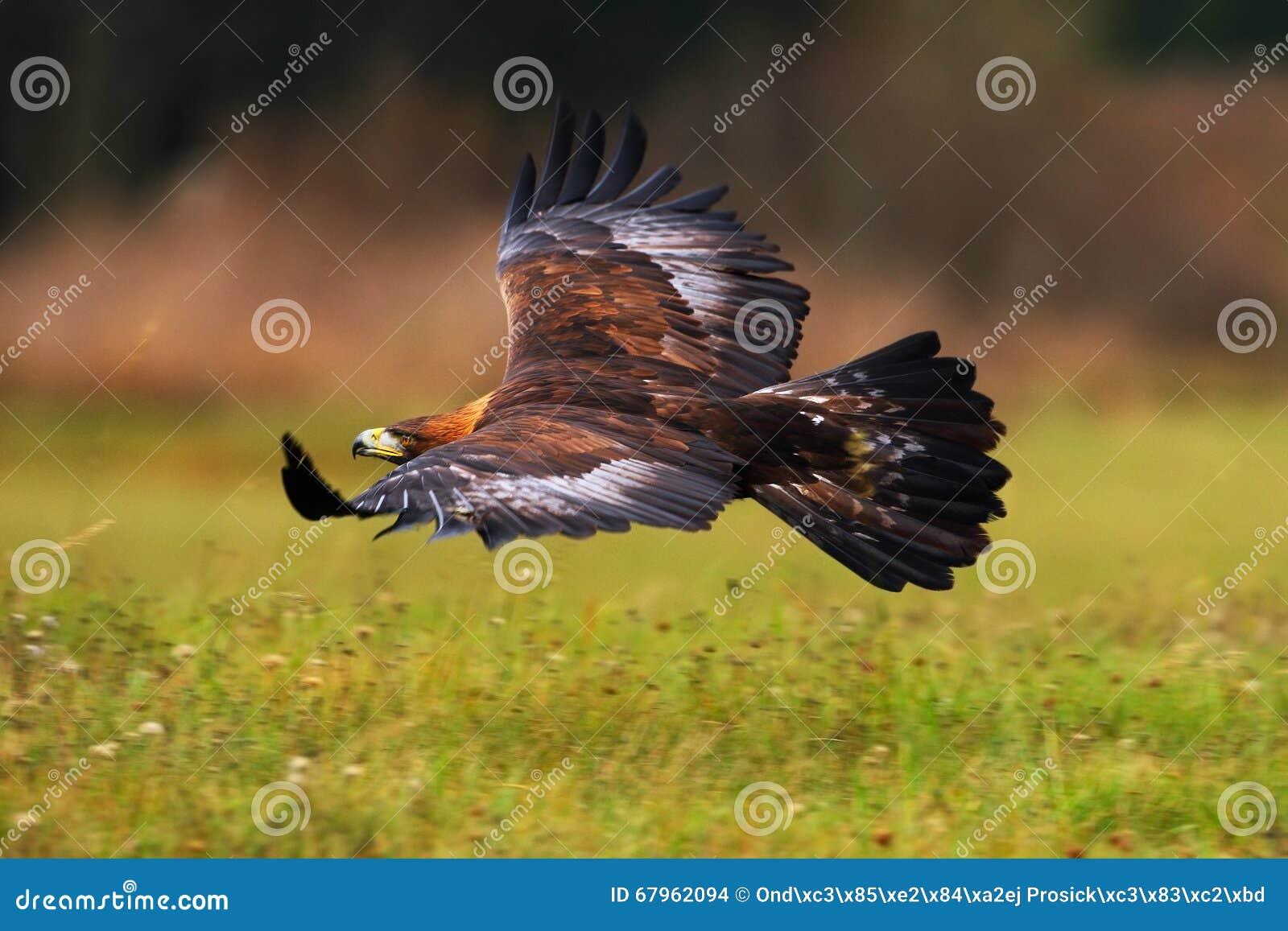Guld- Eagle som flyger ovanför blomningäng, brun fågel av rovet med den stora vingbredden, Norge