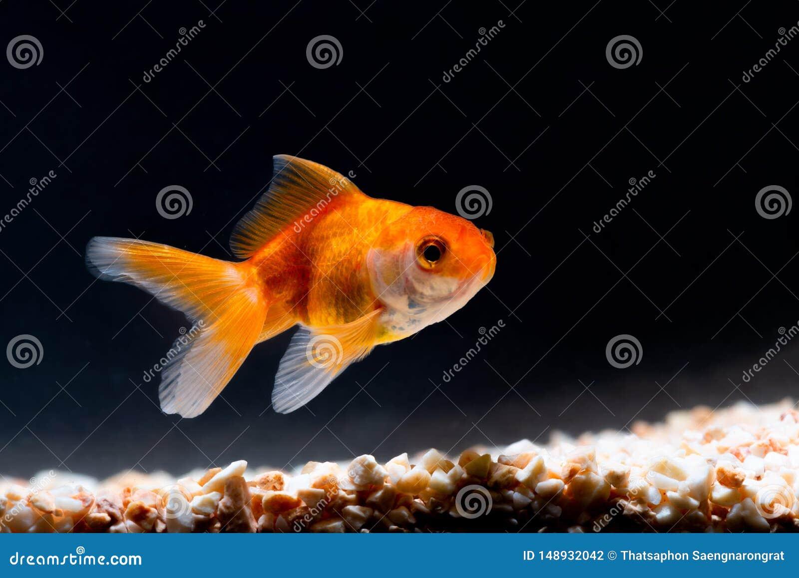 Guld- fisk eller guldfisk som sv?var simning som ?r undervattens- i ny akvariumbeh?llare