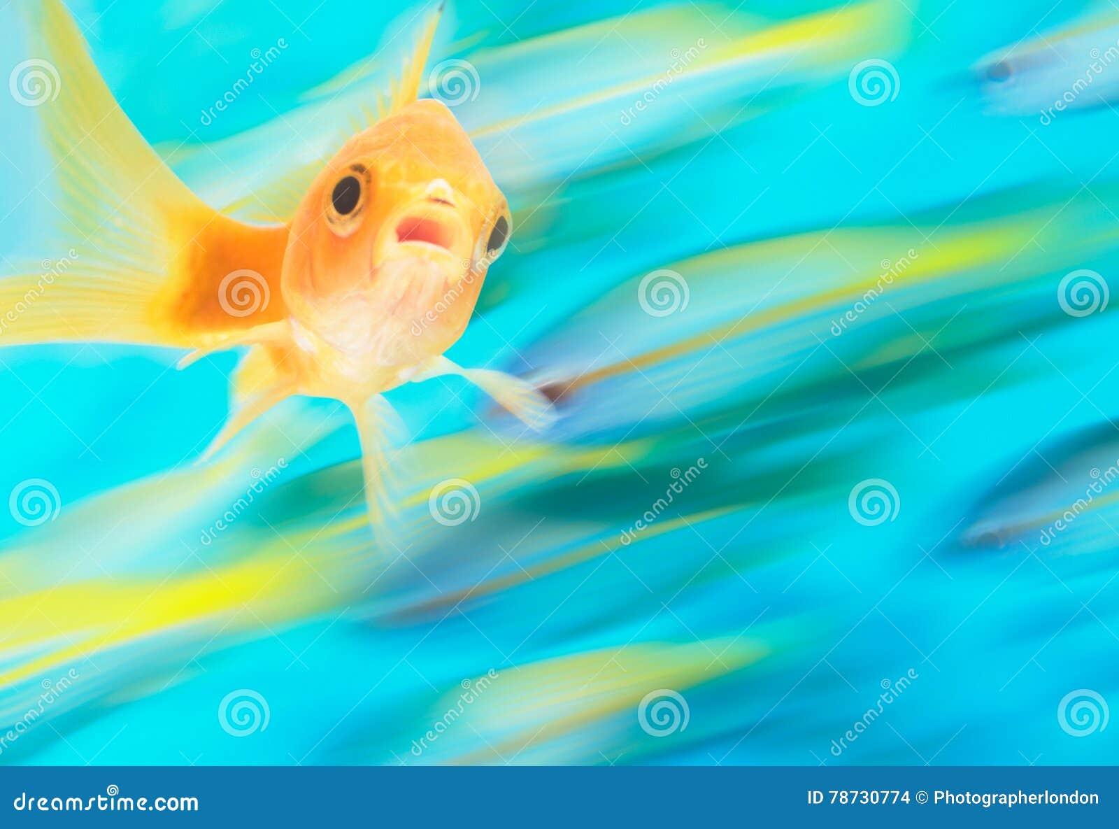Guld- fisk med skolan av fisken i rörelse i bakgrund, digital komposit