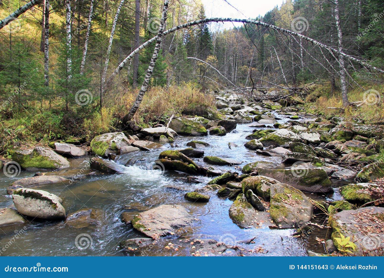 Guld- höst i den Altai regionen i Ryssland Härligt landskap - väg i höstskog