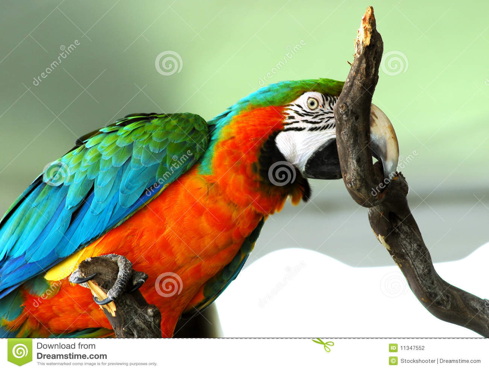 Guld- isolerad macawred för fågel