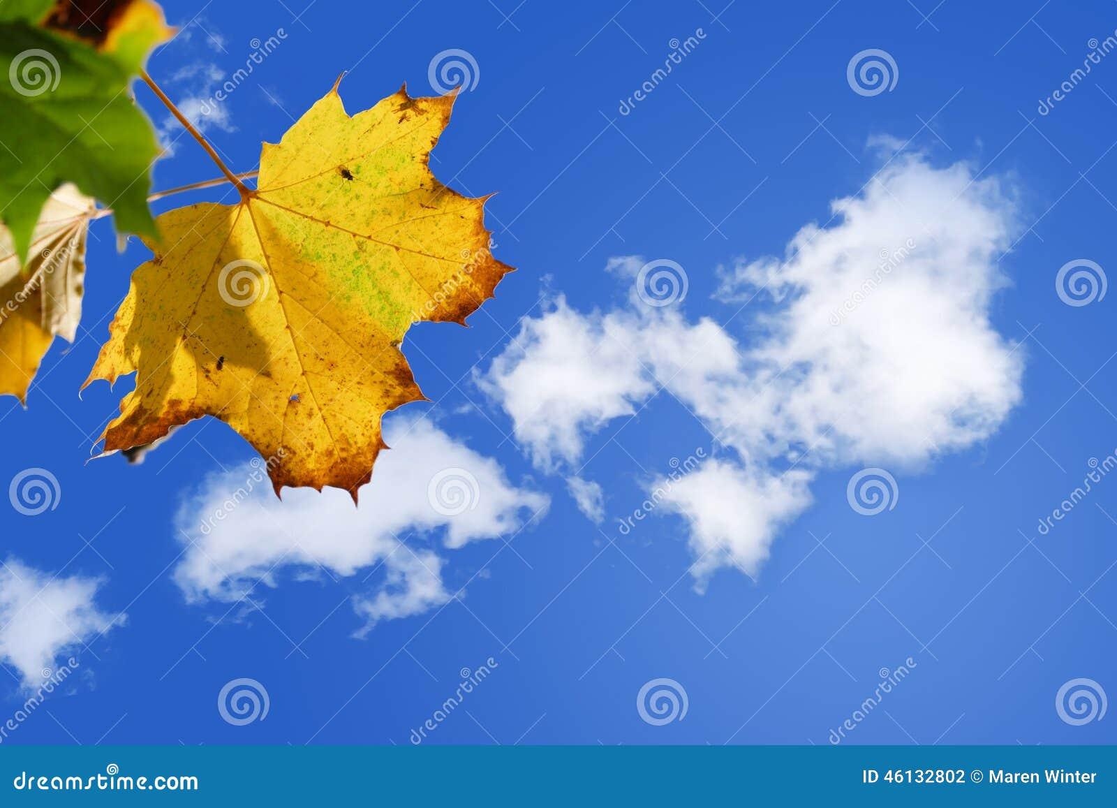 Guld- lönnlöv mot en solig blå himmel med vita moln