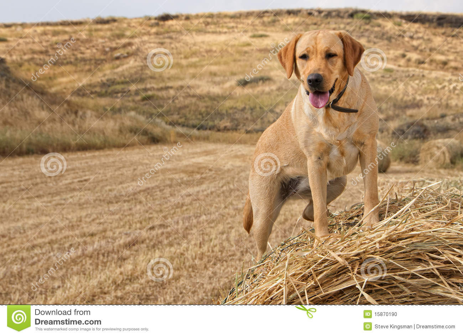 Guld- labrador