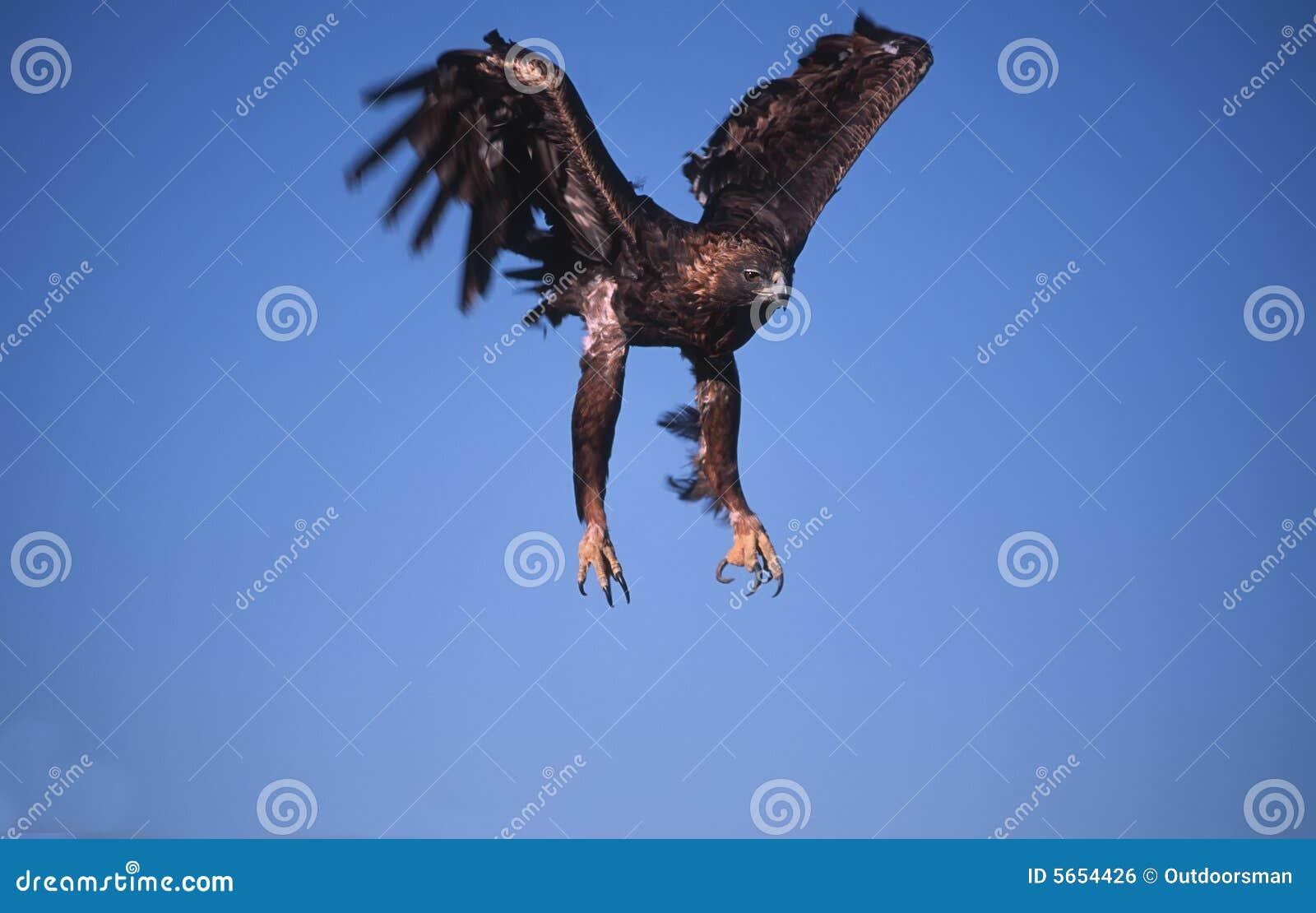 Guld- landning för örn