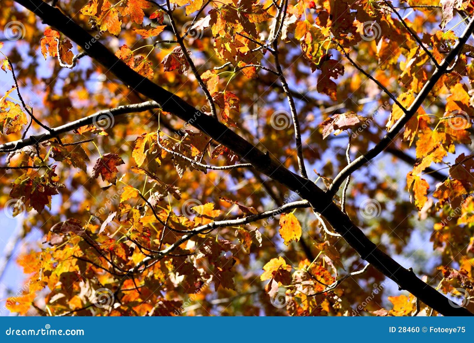 Guld- leaves för höst