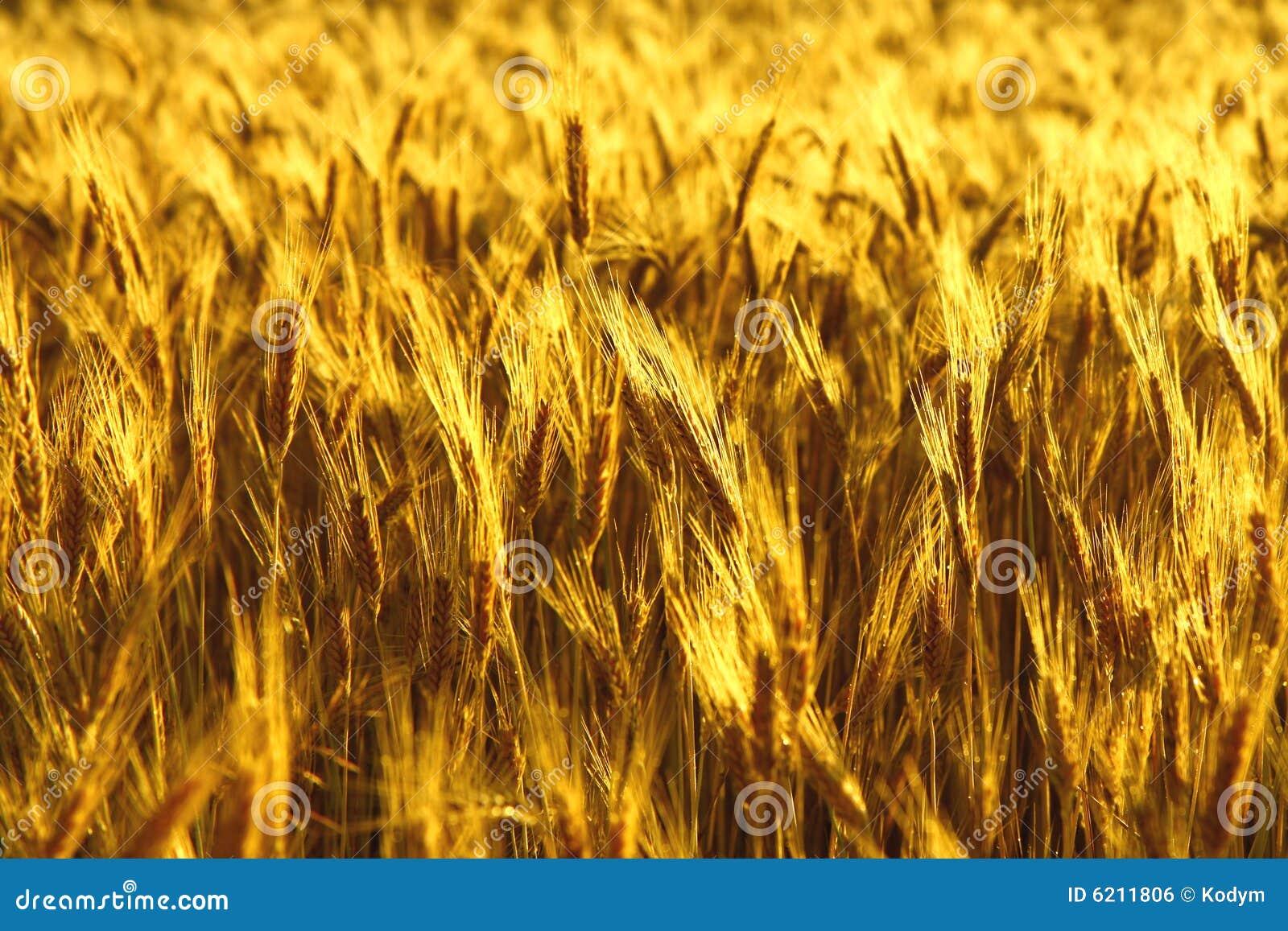Guld- piggar för fält