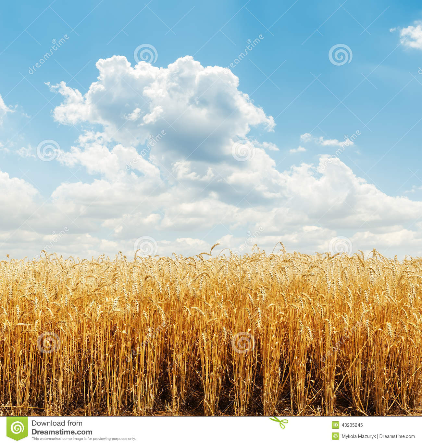 Download Guld- sky för molnigt fält fotografering för bildbyråer. Bild av guld - 43205245