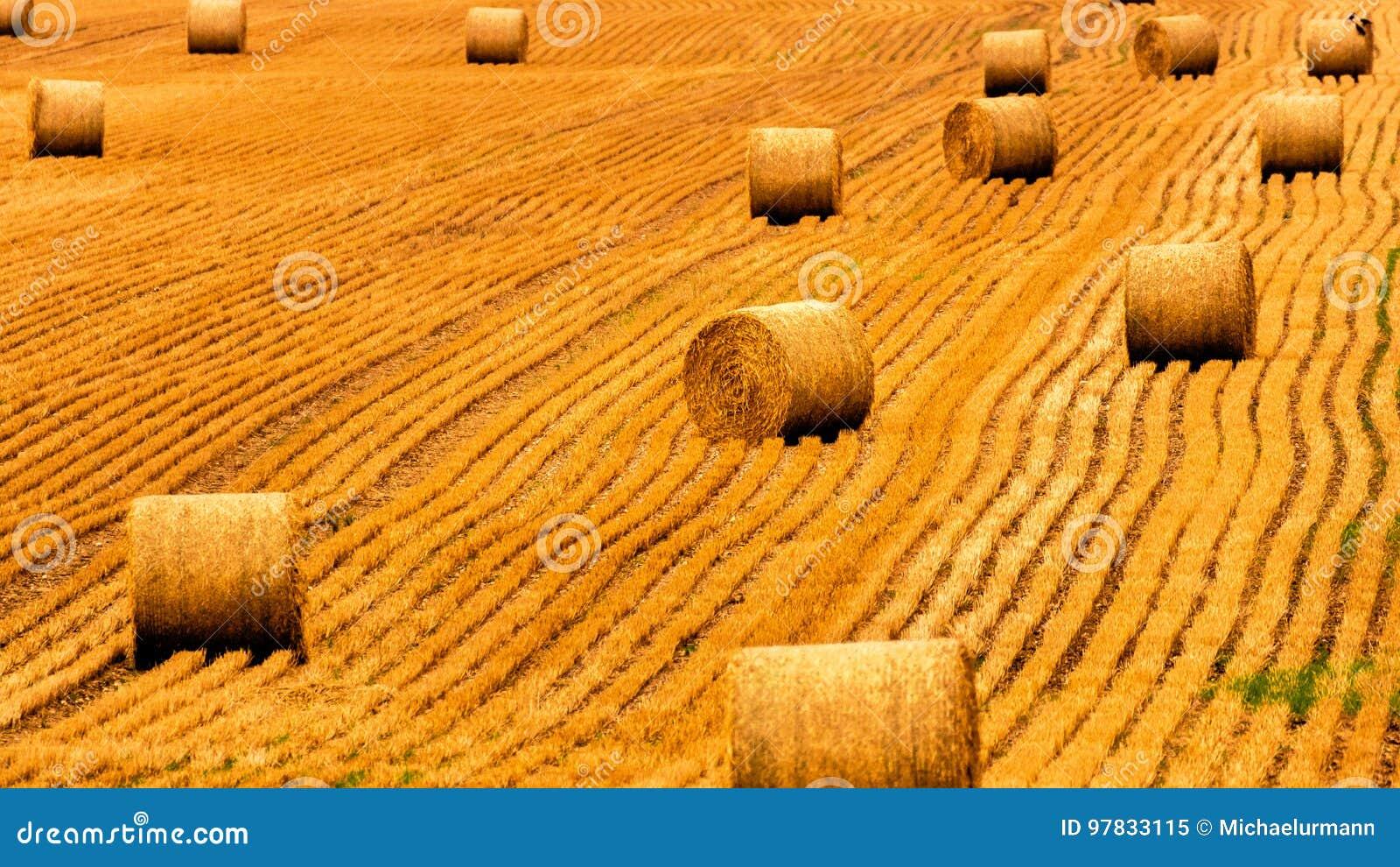 Guld- sugrörfält med höbaler Skördäng i guld- gula färger