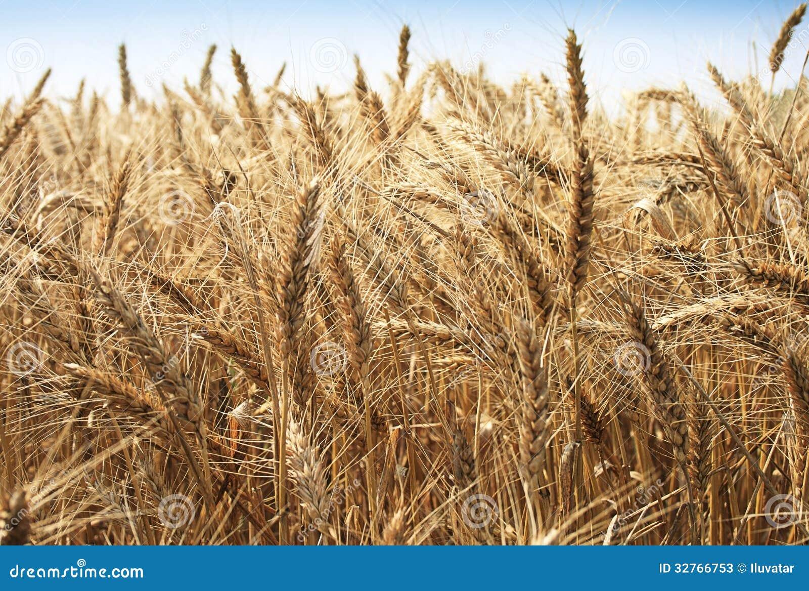 Guld- vetefält