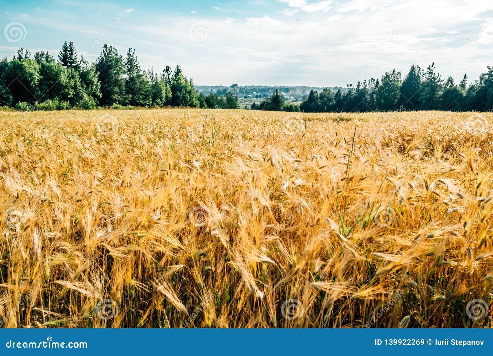 Guld- vetefält med den gröna skogen