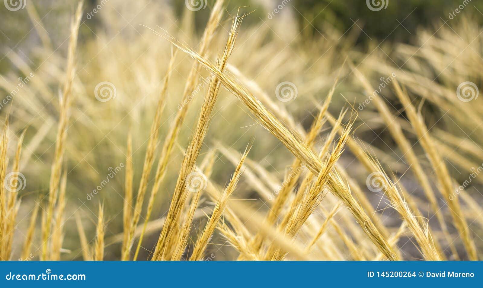 Guld- vetegrova spikar som är bakbelysta med naturligt solljus