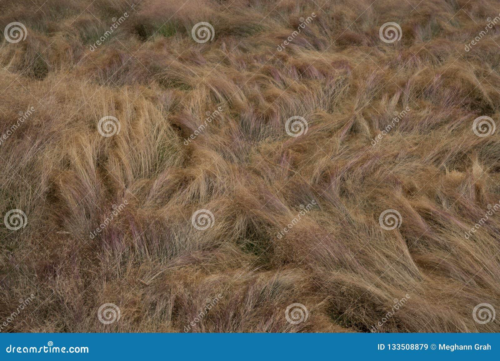 Guld- windblown gräs- landskap