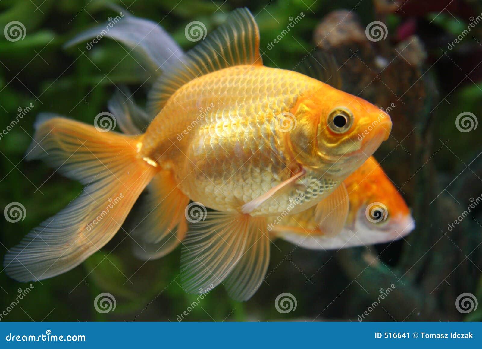 Guldfisk som simmar två