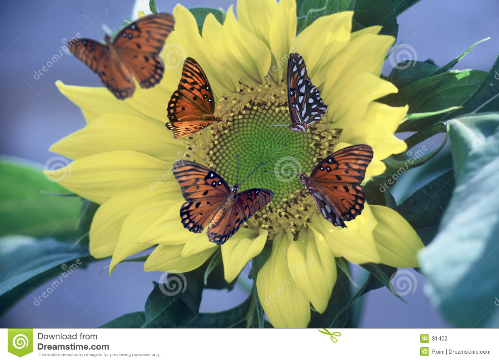 Gulf Fritillaries on Sunflower