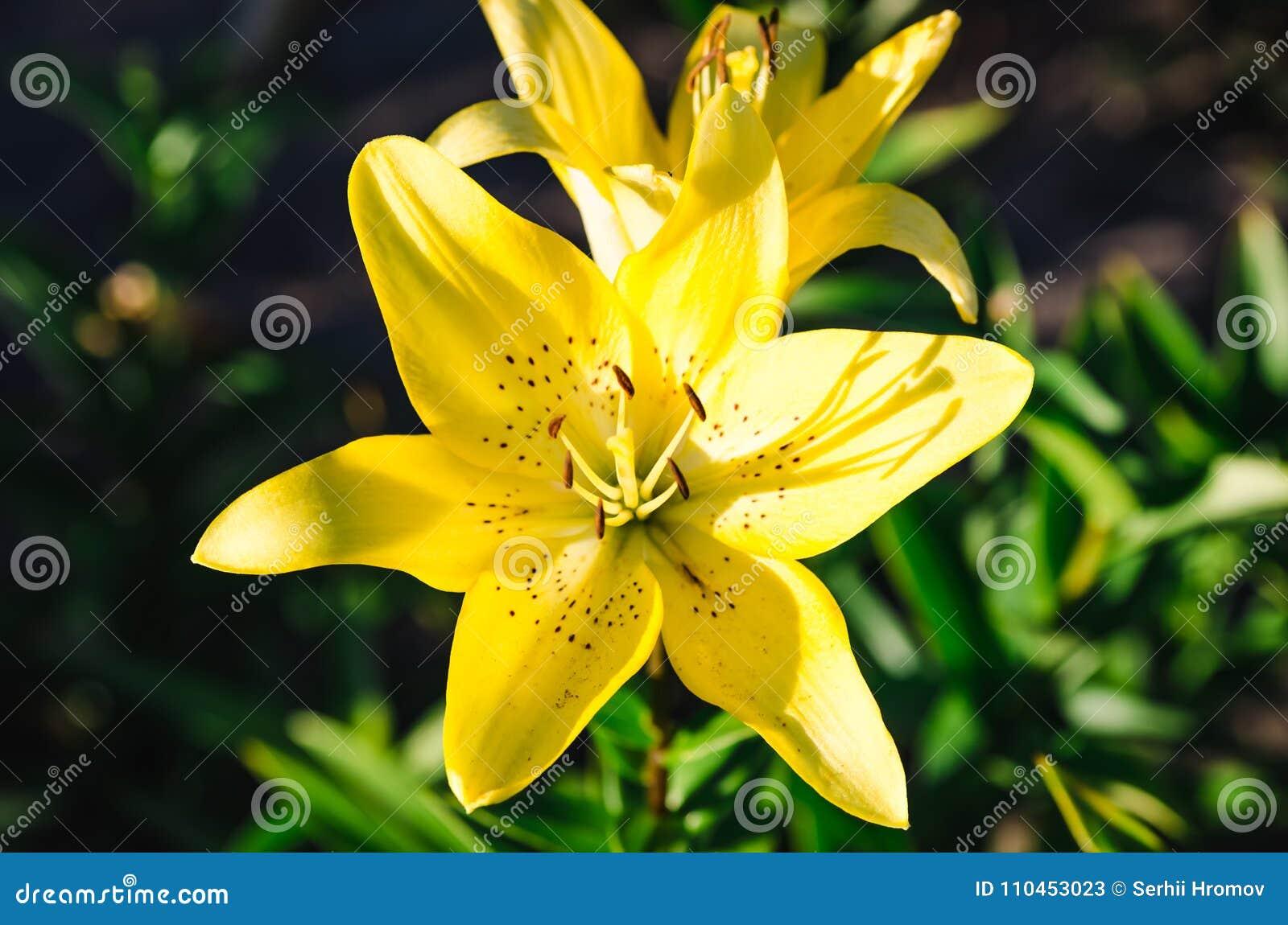 Guling blommar upp bakgrundsslut