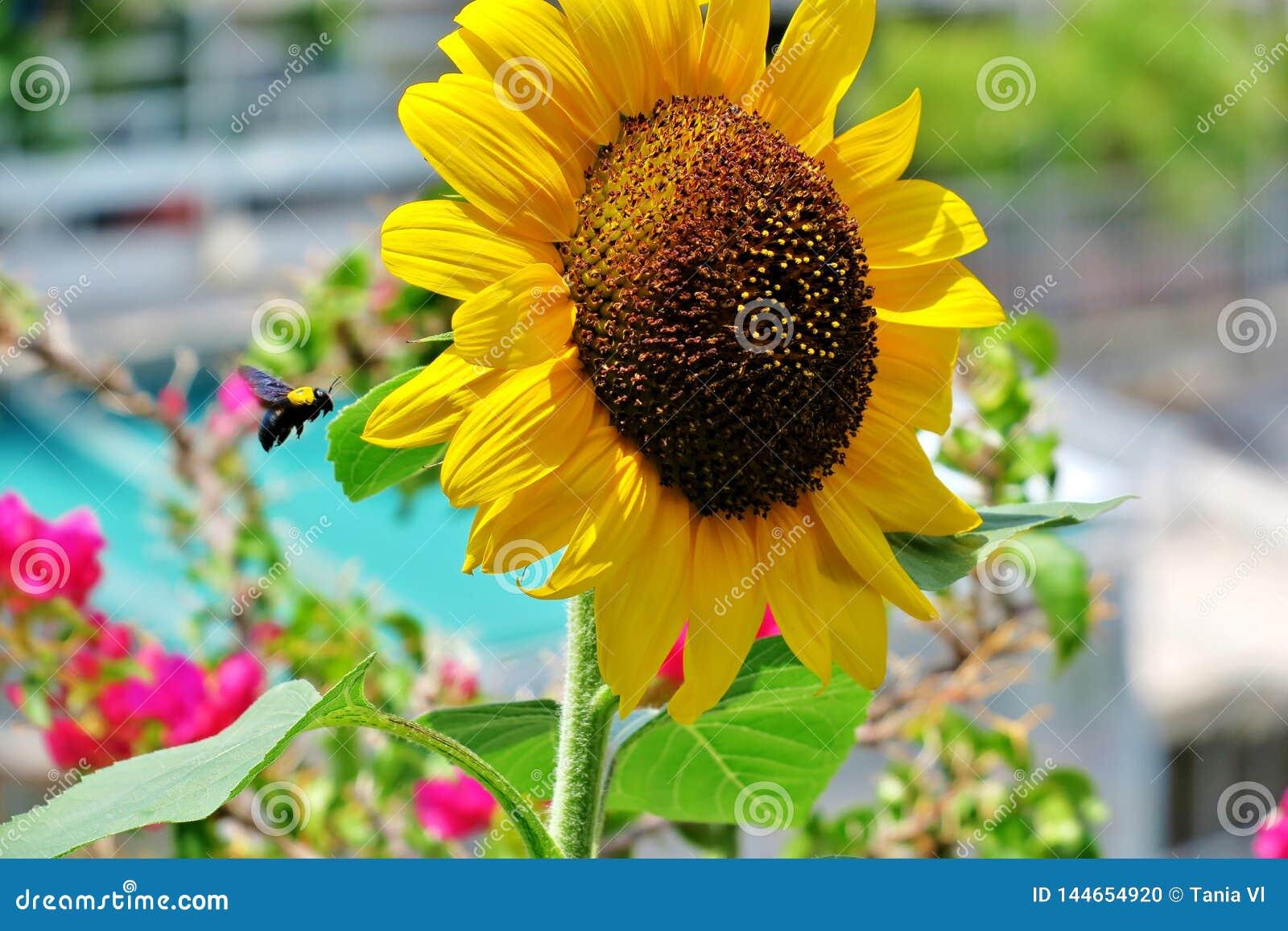 Guling-ljus färg för härlig blommande solros med en flygahumla nära den