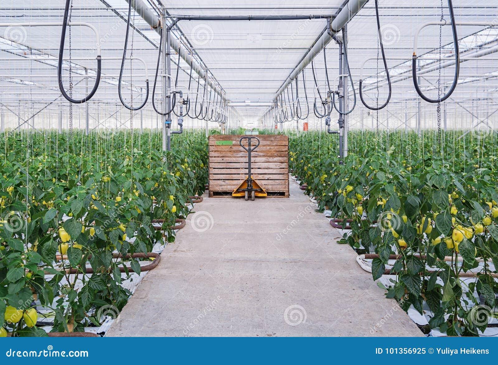 Guling pepprar att växa i ett stort växthus i Nederländerna