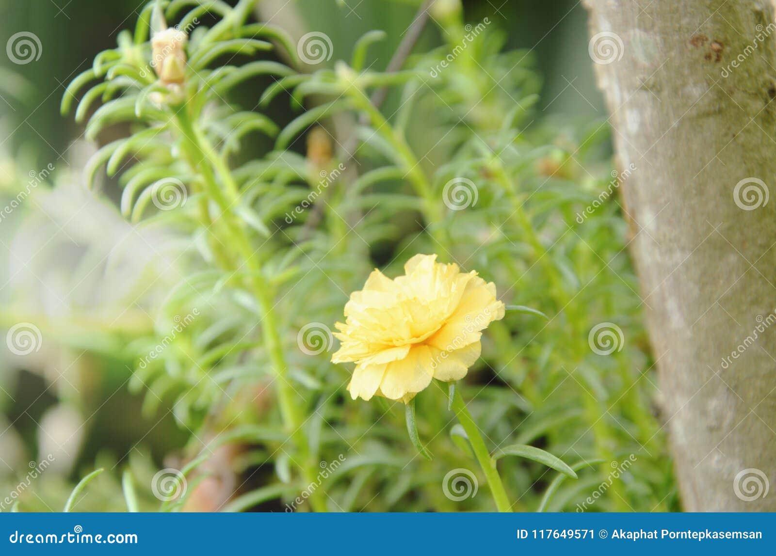 Gulingrosmossa som blommar i trädgård