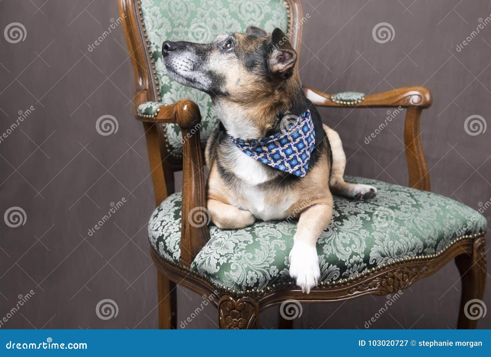 Gullig Corgihund som kopplar av på en stol