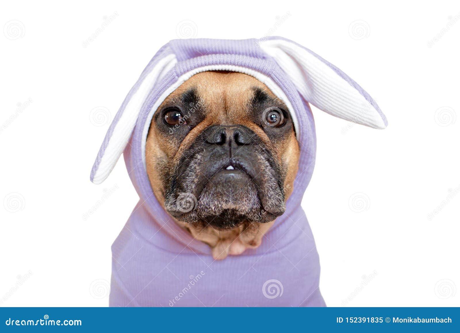 Gullig för hundflicka för fransk bulldogg uppklädd i roligt ljus - violett dräkt för easter kanin med öron på vit bakgrund