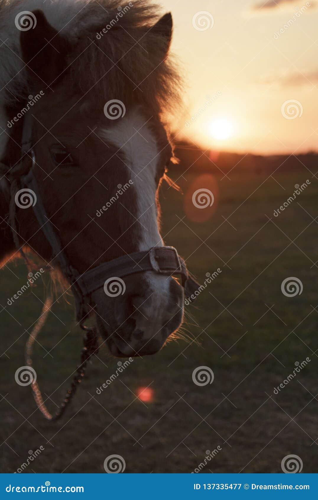 Gullig häst på solnedgången