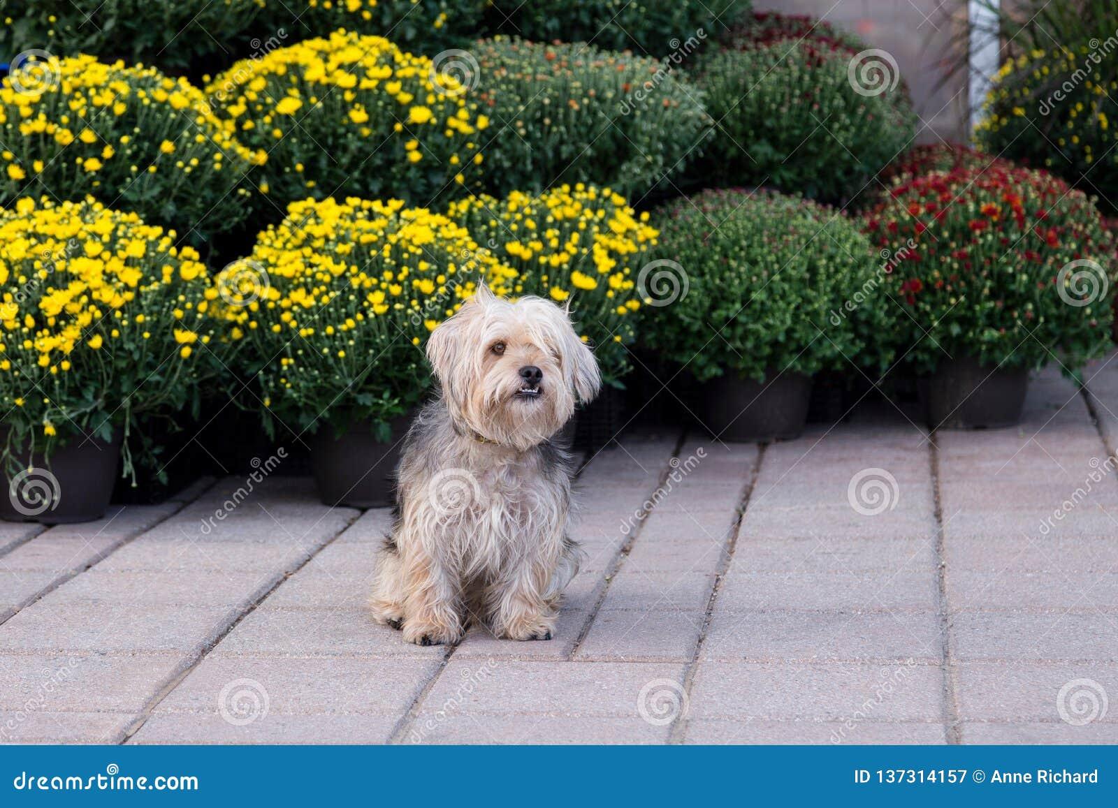 Gullig hårig windblown terrierblandninghund som sitter på trottoaren