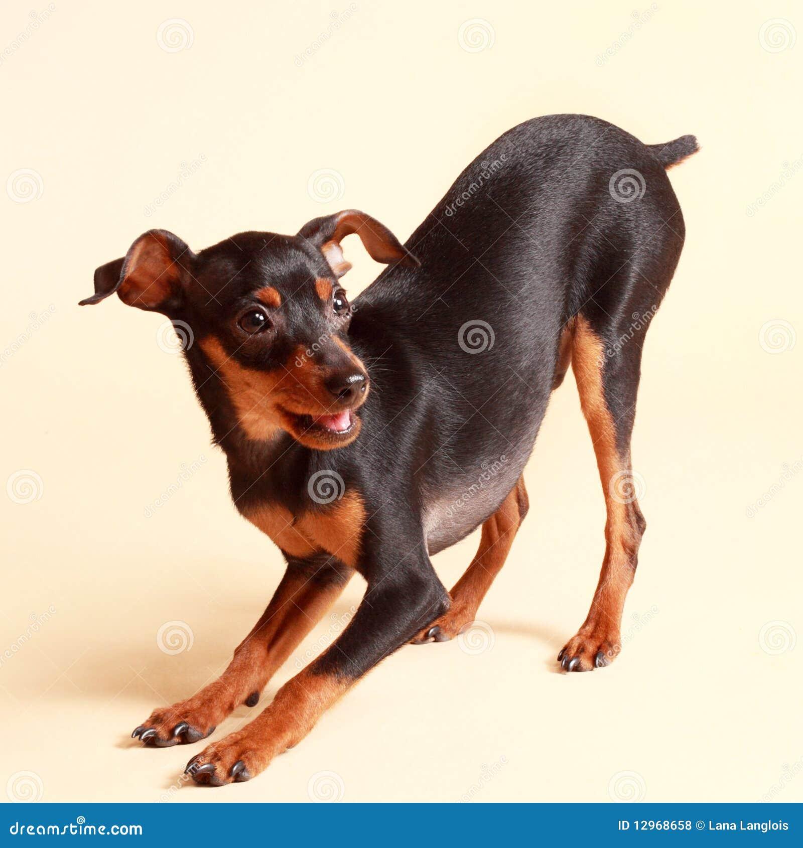 Gullig hundpinscher