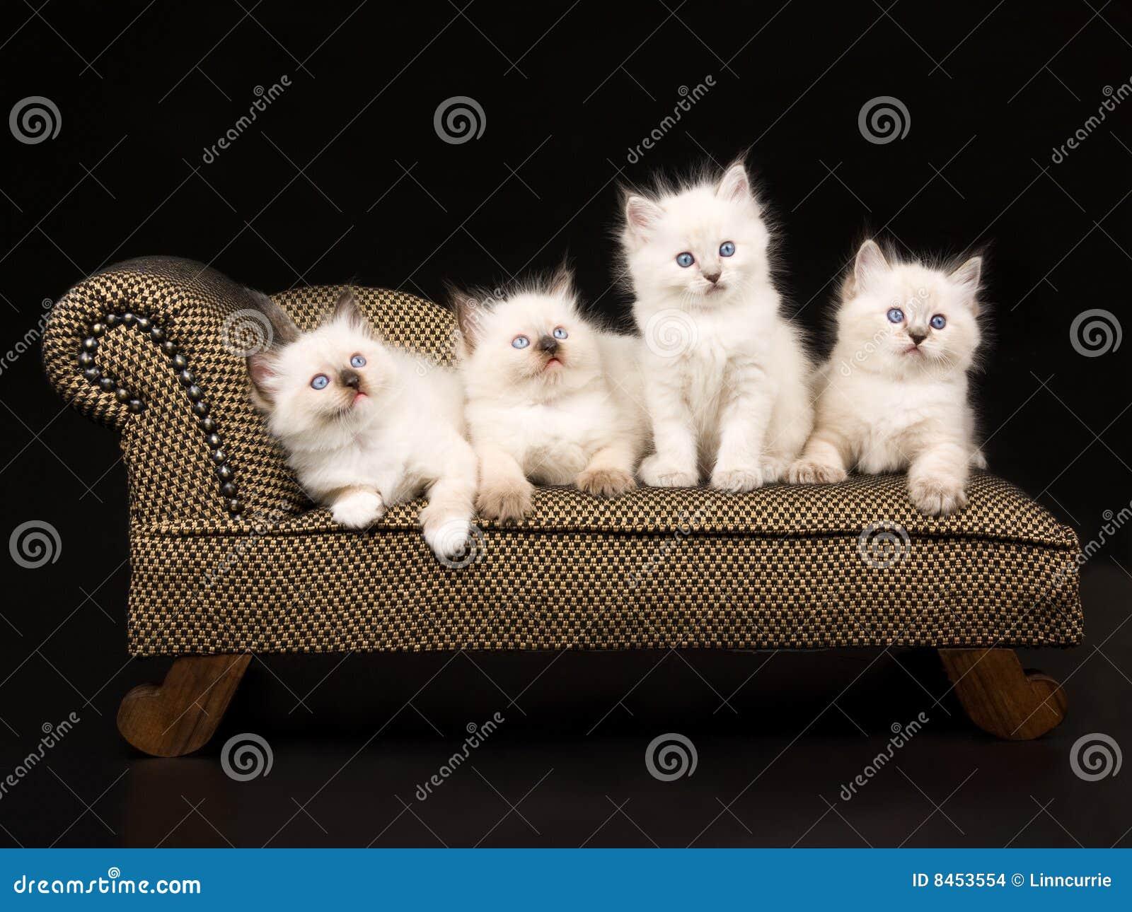Gullig kattungeragdoll för brun chaise